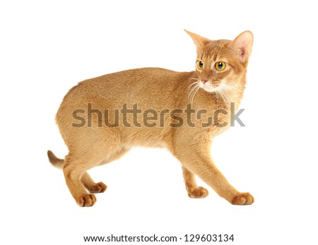 Purebred abyssinian young  scared cat isolated on white