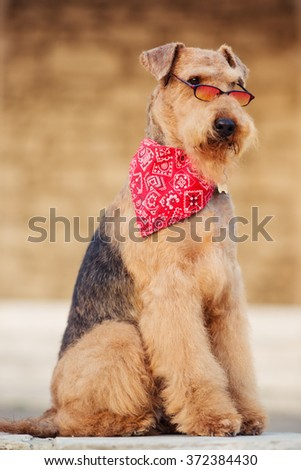 purebred airedale terrier outdoors - stock photo