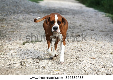 Purebred American bulldog walking in a rural garden