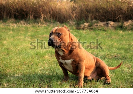 Purebred American Bully Canine Dog.Green grass background - stock photo