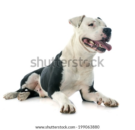 purebred american staffordshire terrier in front of white background