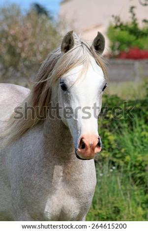 Purebred arabian horse - stock photo