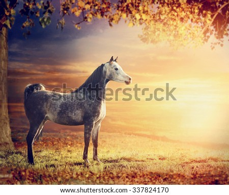 Purebred Arabian stallion horse on beautiful  nature background with tree, pasture and sunset - stock photo