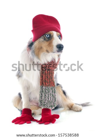 purebred australian shepherd  with accessories in front of white background