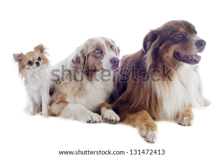 purebred australian shepherds and chihuahua  in front of white background