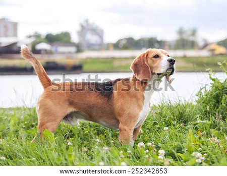 Purebred beagle standing in green grass