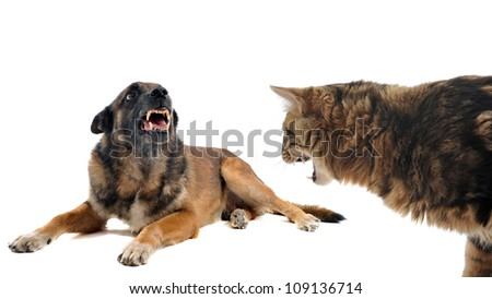 purebred belgian sheepdog malinois and cat angry in front of white background - stock photo