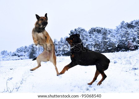 purebred belgian sheepdog malinois and rottweiler playing in the snow - stock photo
