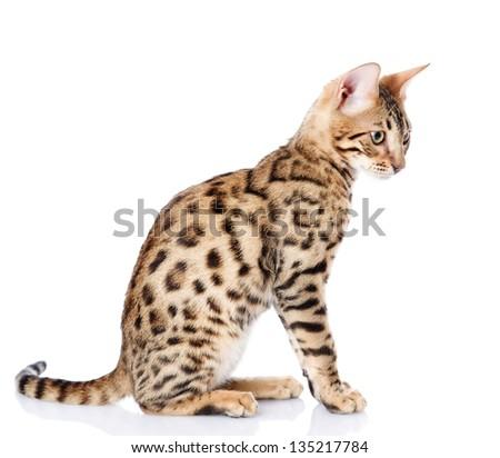 purebred bengal cat. isolated on white background - stock photo