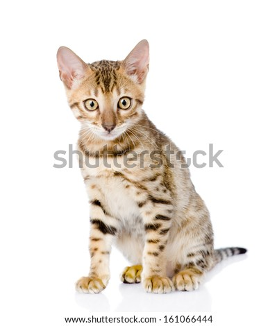 purebred bengal kitten. looking at camera. isolated on white background