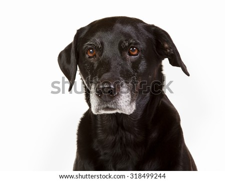 Purebred black labrador dog isolated on white background in studio.