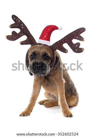 purebred border terrier in front of white background - stock photo