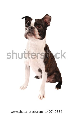 Purebred Boston Terrier Dog Standing on a White Background - stock photo