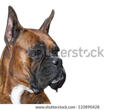 Purebred Boxer Dog isolated on white background - stock photo