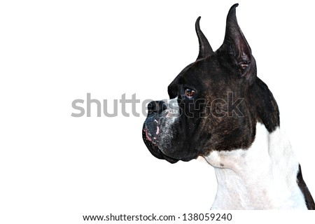 Purebred Boxer Dog profile with cropped ears on white background - stock photo
