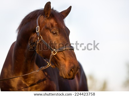 Purebred brown horse outdoors on a summer day.