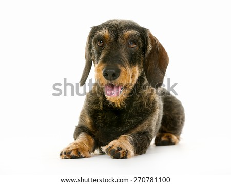 Purebred brown wirehaired dachshund dog isolated on white background in studio.