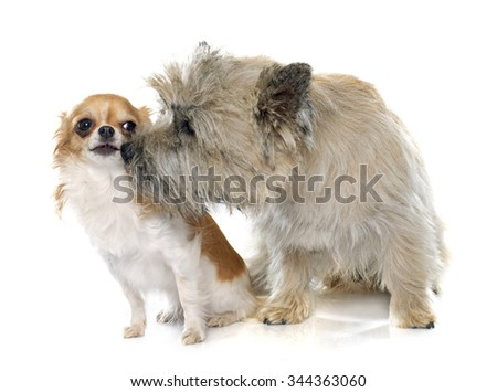 purebred cairn terrier and chihuahua in front of white background - stock photo