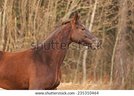 Purebred chestnut horse running free in late autumn landscape