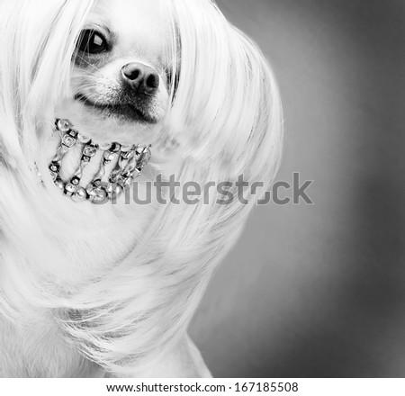 purebred chihuahua dog in wig - stock photo