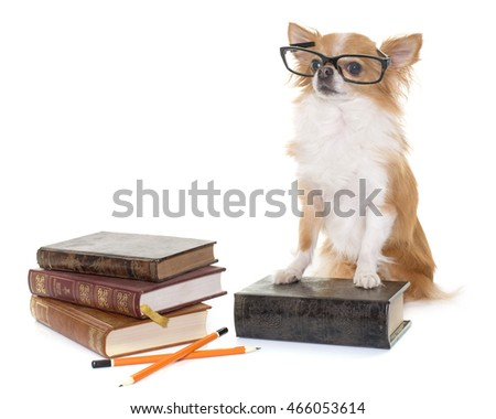 purebred chihuahua in school in front of white background