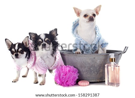 purebred chihuahuas after the bath in front of white background