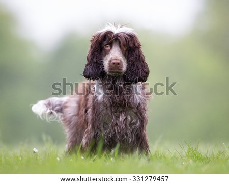 Purebred cocker spaniel dog outdoors in the nature on grass meadow on a rainy summer day.