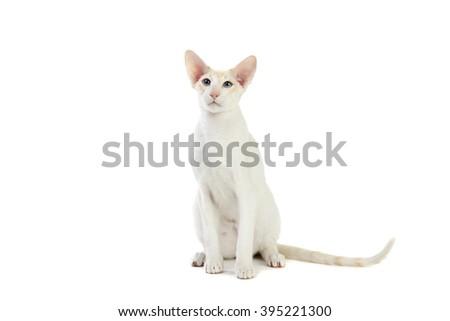 Purebred cute siamese cat studio shot, isolated on white background - stock photo