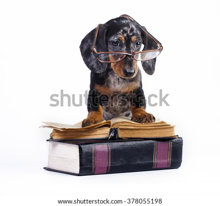 purebred dachshund puppy in glasses and book - stock photo