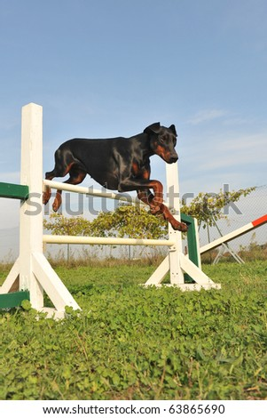 purebred doberman jumping in a training of agility - stock photo