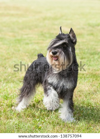 Purebred  dog Miniature schnauzer on green grass