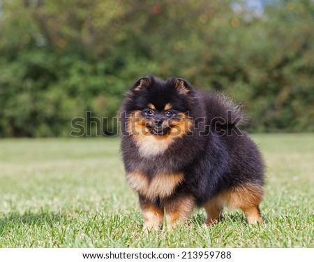 Purebred Dog Pomeranian Spitz - stock photo