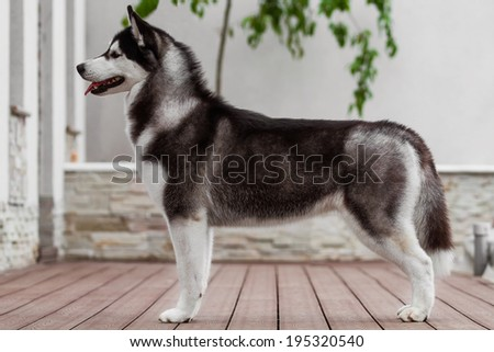 purebred dog resting on the terrace - stock photo