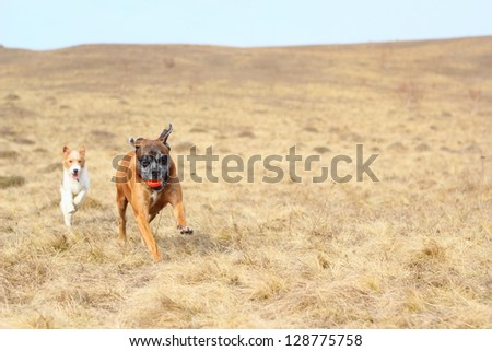 purebred dogs ( fox terrier and boxer ) playing with a ball - stock photo