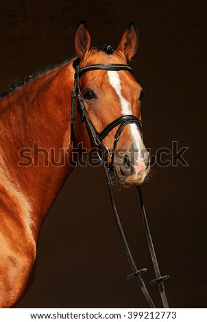 Purebred dressage horse, portrait of a bay stallion with bridle