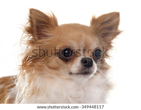 purebred female chihuahua in front of white background
