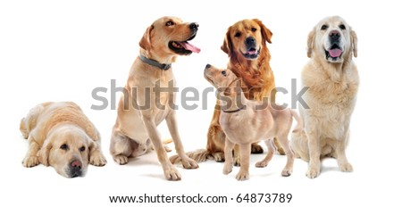 purebred golden retriever and labrador retriever in front of a white background
