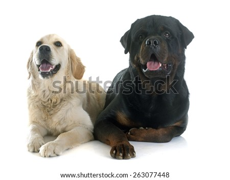 purebred golden retriever and rottweiler in front of a white background