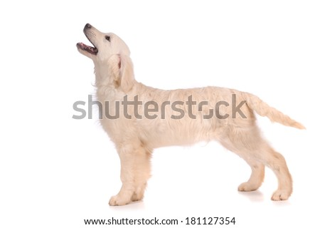 purebred golden retriever dog isolated over white background  - stock photo