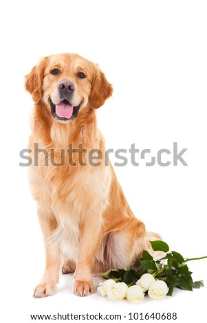 purebred golden retriever dog with white roses sitting on isolated  white background - stock photo
