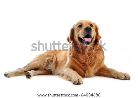 purebred golden retriever laid down in front of a white background - stock photo