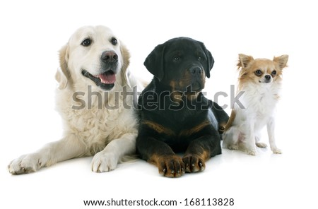 purebred golden retriever, puppy rottweiler and chihuahua in front of a white background