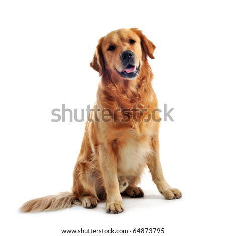 purebred golden retriever sitting in front of a white background - stock photo