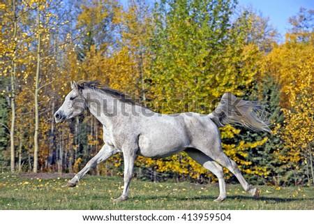 Purebred Grey Arabian Mare cantering  - stock photo