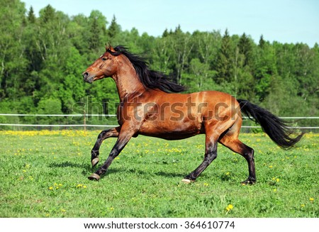 Purebred horse galloping across a green summer corral - stock photo