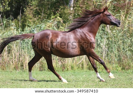 Purebred horse galloping across a green summer pasture