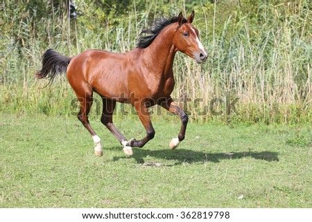 Purebred horse galloping across a green summer pasture - stock photo