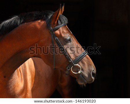 Purebred horse, portrait of a bay mare with bridle
