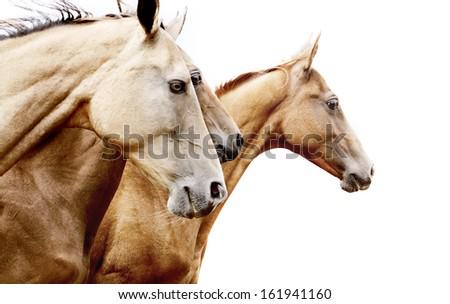 purebred horses - stock photo