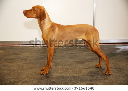 Purebred hungarian vizsla canine against white wall background  - stock photo